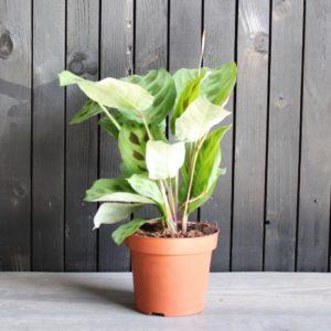 Maranta Leuconeura Plant